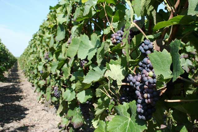 производство вина, производство шампанского